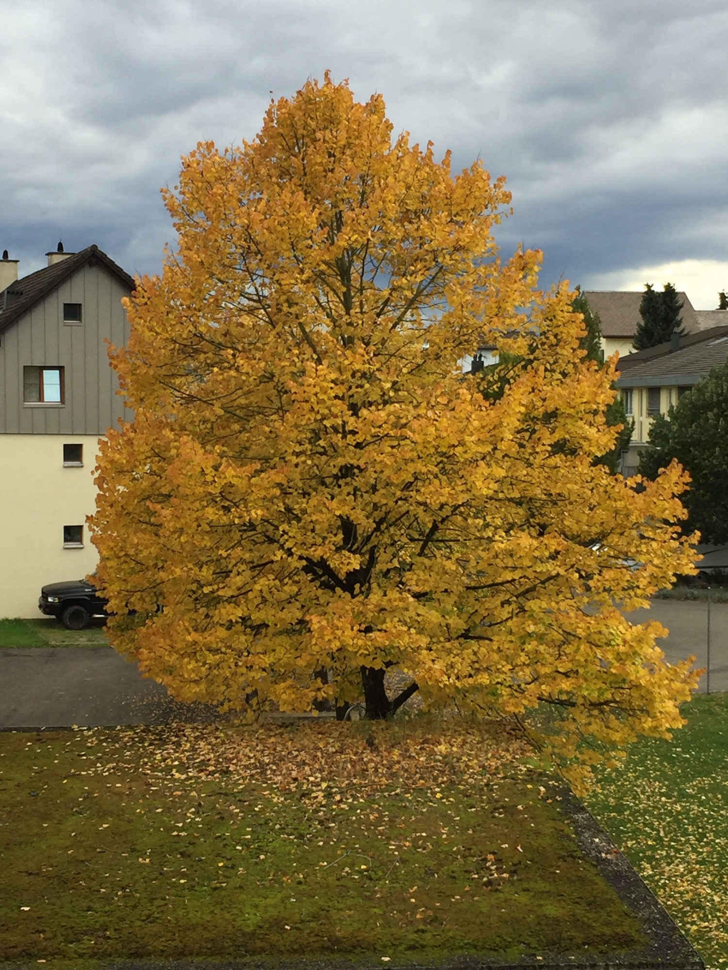 Nice autumn colors on the tree bevor my office window.